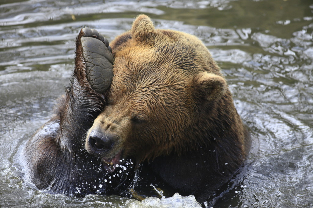 Bear Swimming Excercize